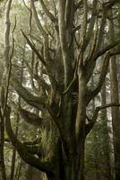 愛媛県 霧の中の千手杉