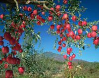 実るりんごと岩木山   青森県