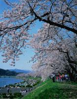春の桧木内川堤の桜並木 秋田県