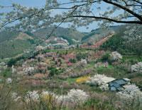 花見山 福島県