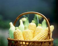 かごに入ったトウモロコシ 20005000580| 写真素材・ストックフォト・画像・イラスト素材|アマナイメージズ