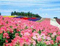 花咲く四季彩の丘 20005001097| 写真素材・ストックフォト・画像・イラスト素材|アマナイメージズ