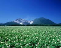 知床半島の硫黄山とジャガイモの花