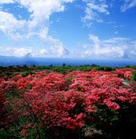 那須高原の八幡のツツジ