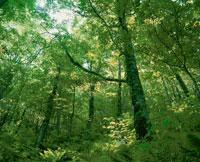 新緑の白神山地ブナ林