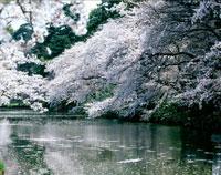 桜と池に浮かぶ花びら 20005001977| 写真素材・ストックフォト・画像・イラスト素材|アマナイメージズ