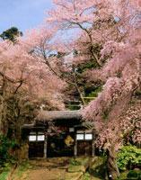 桜咲く大年寺