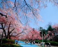 桜咲く榴ヶ岡公園