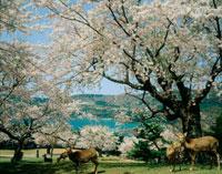 金華山の桜と鹿