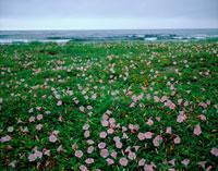 浜昼顔咲く海辺 20005002930| 写真素材・ストックフォト・画像・イラスト素材|アマナイメージズ