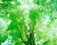 新緑のブナ 岳岱自然観察教育林 20005003065| 写真素材・ストックフォト・画像・イラスト素材|アマナイメージズ
