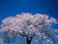 青空とサクラ 20005003366| 写真素材・ストックフォト・画像・イラスト素材|アマナイメージズ