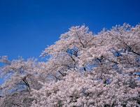 青空と桜 20005003413| 写真素材・ストックフォト・画像・イラスト素材|アマナイメージズ