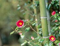 ツバキの花と竹