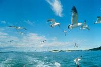 海とウミネコ 20005003542| 写真素材・ストックフォト・画像・イラスト素材|アマナイメージズ