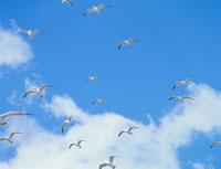 青空を飛ぶウミネコの群れ