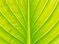 葉脈 20005003751| 写真素材・ストックフォト・画像・イラスト素材|アマナイメージズ