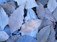 柏の落ち葉