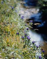 オヤマリンドウ 20005003829| 写真素材・ストックフォト・画像・イラスト素材|アマナイメージズ