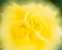 黄色いバラのアップ