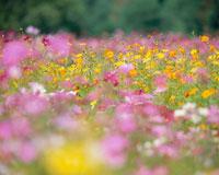 コスモス畑 20005003878| 写真素材・ストックフォト・画像・イラスト素材|アマナイメージズ