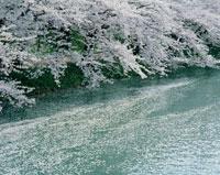 弘前公園のサクラ