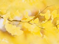 イチョウの黄葉のアップ 20005004658| 写真素材・ストックフォト・画像・イラスト素材|アマナイメージズ