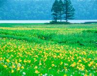 ニッコウキスゲ咲く尾瀬 20005005436| 写真素材・ストックフォト・画像・イラスト素材|アマナイメージズ