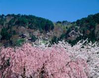 春の山寺と桜
