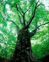白神山地の新緑の大木 20005005610| 写真素材・ストックフォト・画像・イラスト素材|アマナイメージズ