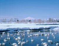 冬の鳥海山と皆瀬川と白鳥