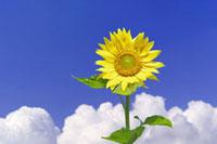 夏雲湧く青空と一輪のヒマワリの花・合成