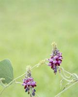 秋の七草・クズ 20005007151| 写真素材・ストックフォト・画像・イラスト素材|アマナイメージズ