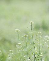 春の七草・ナズナ