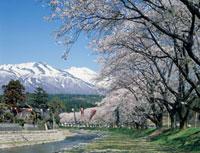 洗沢川の桜並木 鳥海山 山形県