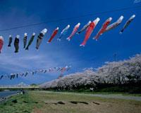 桜の北上展勝地 岩手県
