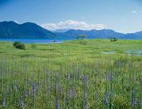 田沢湖のサワギキョウ 秋田県 20005008518| 写真素材・ストックフォト・画像・イラスト素材|アマナイメージズ