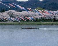 北上展勝地公園の桜 岩手県