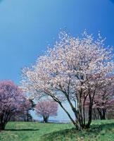 春の西蔵王高原 山形県