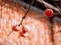 柿 20005009129| 写真素材・ストックフォト・画像・イラスト素材|アマナイメージズ
