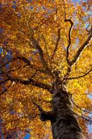 紅葉する木