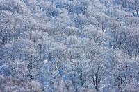 冬の八甲田山の森林 青森県