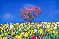 四季彩の丘 ハート型の桜とチューリップ 北海道 20005009432| 写真素材・ストックフォト・画像・イラスト素材|アマナイメージズ