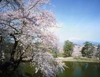 弘前公園の桜と岩木山 青森県