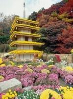 二本松菊人形祭り 福島県 20005010450| 写真素材・ストックフォト・画像・イラスト素材|アマナイメージズ