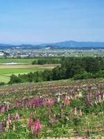 萌の丘のルピナス 北海道