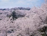 桜咲く船岡城址公園 宮城県