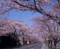 夜の森公園の桜 福島県 20005010955| 写真素材・ストックフォト・画像・イラスト素材|アマナイメージズ