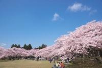 三神峯公園の桜 宮城県