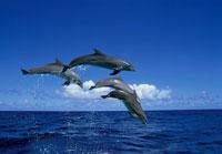 ジャンプするイルカ 20007001127| 写真素材・ストックフォト・画像・イラスト素材|アマナイメージズ